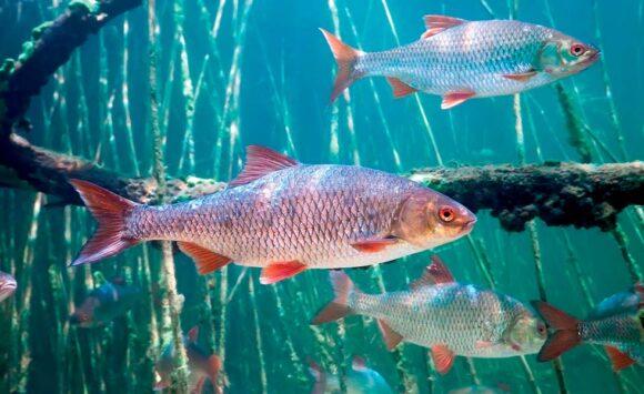 Річкова плотва – найчисленніша риба наших водойм